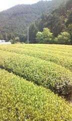 200906静岡お茶畑