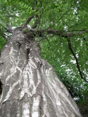 8.歩道の木