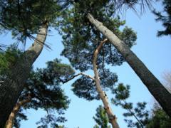 1.松の木