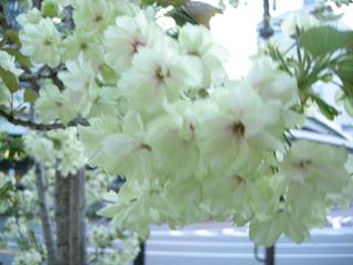 3.黄色の桜