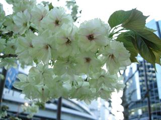 4.黄色の桜