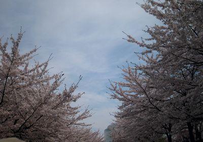 芸文に向かう桜並木の道