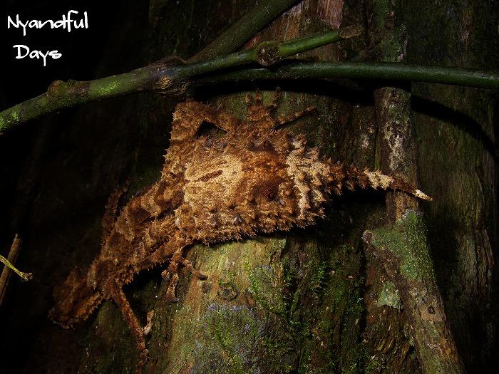 Nyandfulな日々。 カワリオヤモリ科 Carphodactylidae