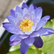 イッセイ-睡蓮の水槽栽培講座