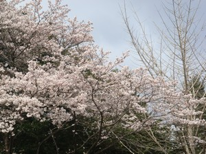 sakura-1.jpg