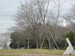 中央公園(桜)