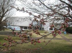 国土地理院(桜)