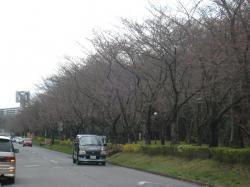 筑波大学(桜)