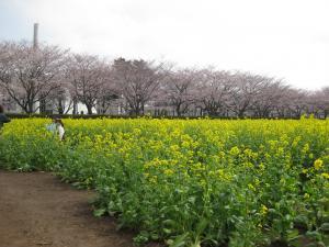 農林団地(桜開花)
