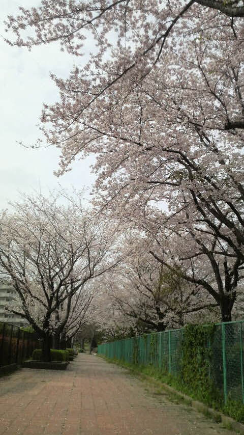 桜コリドー