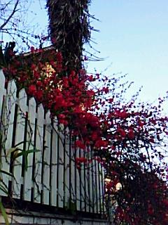 木瓜の生垣