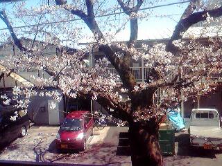 昨日の桜1